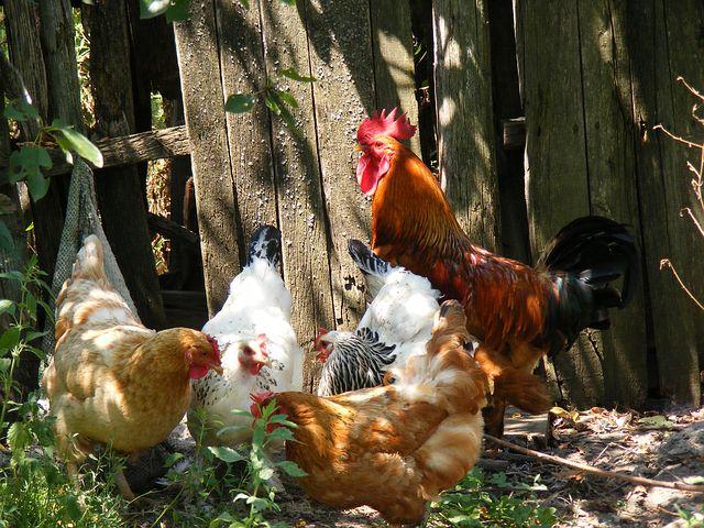 chicken-88507__480