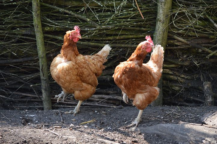 chickens-164419__480